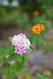 Hellpurpurne Blumen Stockbilder