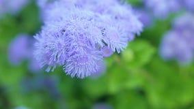 Hellpurpurne Blumen von Ageratum in einem grünen Garten Stockfotografie