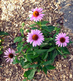 Hellpurpurne Gerbera-Blumen Stockfotos