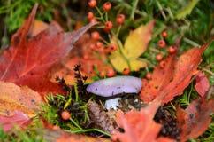 Hellpurpurner Blewit-Pilz im Herbst Stockfotografie
