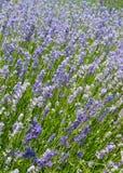 Hellpurpurner Lavendel stockfoto