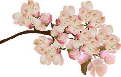 Hellrosa Apfelbaumblüte auf bracnch Stockbild