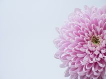Hellrosa Blume auf einem weißen Hintergrund lokalisiert mit Beschneidungspfad nahaufnahme große rauhaarige Blume Für Auslegung sp Lizenzfreies Stockbild