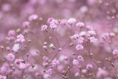 Hellrosa Blumenhintergrund von Gypsophila paniculata Lizenzfreie Stockfotografie