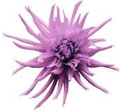 Hellrosa Dahlienblume, Weiß lokalisierte Hintergrund mit Beschneidungspfad nahaufnahme Keine Schatten Für Auslegung Helle rauhaar Stockfotos