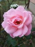 Hellrosa einzelne Rose stockbild