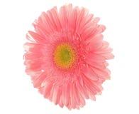 Hellrosa Gänseblümchen stockbild