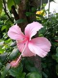 Hellrosa Hibiscusblume Lizenzfreie Stockfotografie