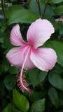 Hellrosa Hibiscusblume stockbild