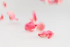 Hellrosa rosafarbenes Blumenblatt, das auf weißen Hintergrund fällt Lizenzfreie Stockfotos