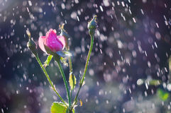 Hellrosa Rosen im Garten im Sommer regnen Lizenzfreie Stockfotos