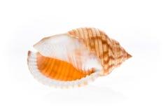 Helm overzeese shell - Galeodea-echinophora Leeg huis van overzeese snai Royalty-vrije Stock Foto's