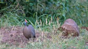 Helmblood Guineafowl & x28;Numida meleagris& x29; stock photo