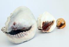 Helmet Conch's 2 Stock Image
