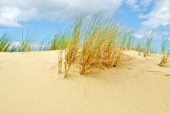 Helmet grass in the sand dunes. At the Belgian coast royalty free stock photo