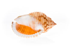 Helmet sea shell - Galeodea echinophora. Empty house of sea snai Royalty Free Stock Photos