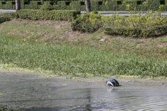 Helmet in a swamp Stock Photo