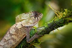 Helmeted basilisk iguana, Corytophanes cristatus, sitting on the tree branch. Lizard in the nature habitat, green forest royalty free stock photography