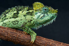 Helmeted Chameleon Stock Photography
