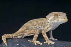 Helmeted gecko / Tarentola chazaelia Stock Images