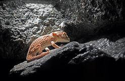 Helmeted Gecko or Tarentola Chazaliae Sleeping in The Cave stock image