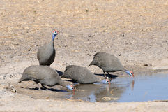 Helmeted guinea fowl. Near water Royalty Free Stock Photography