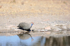 Helmeted guinea fowl. Near water Stock Photo