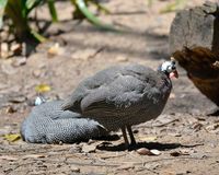 Helmeted guinea fowl female Royalty Free Stock Photography