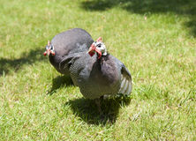 Helmeted guinea fowl on grass Stock Images