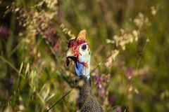 Helmeted guinea fowl. At bushes of Cape Town Royalty Free Stock Image