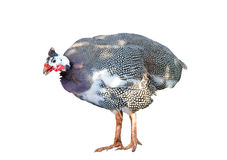 Helmeted guinea fowl meleagris in front of a white background. A Helmeted guinea fowl meleagris in front of a white background Royalty Free Stock Image