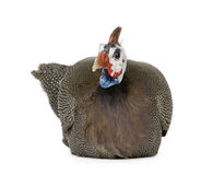 Helmeted guinea fowl - Numida meleagris Stock Photos