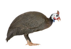 Helmeted Guinea Fowl - Numida Meleagris Royalty Free Stock Photography