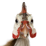 Helmeted guinea fowl - Numida meleagris Royalty Free Stock Images