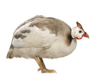 Helmeted guinea fowl - Numida meleagris royalty free stock photo