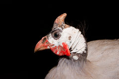 Helmeted guinea fowl (Numida meleagris). Royalty Free Stock Images