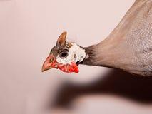 Helmeted guinea fowl (Numida meleagris). Stock Photography