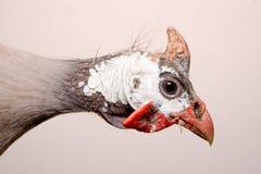 Helmeted guinea fowl (Numida meleagris). Stock Photos