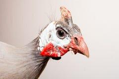Helmeted guinea fowl (Numida meleagris). Stock Images