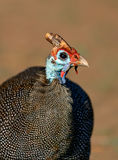 Helmeted Guinea Fowl Royalty Free Stock Images