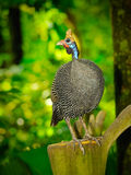 Helmeted guinea fowl Stock Photo