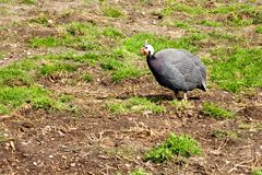 Helmeted guinea fowl Royalty Free Stock Photography