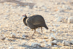 Helmeted Guinea Fowl running in the desert of Etosha. Helmeted Guinea Fowl Numida Melleagris running in the desert of Etosha national park, Namibia Stock Photos