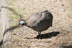 A Helmeted Guinea fowl. The Helmeted Guinea fowl is searching for food in a field stock photo