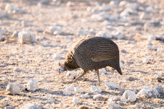 Helmeted Guinea Fowl walking in the desert of Etosha Stock Photos