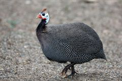 Helmeted Guinea Fowl Stock Photos