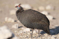 Helmeted guineafow. Royalty Free Stock Image