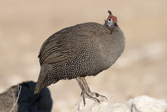 Helmeted guineafow. Royalty Free Stock Images