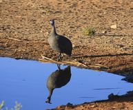 Free Helmeted Guineafowl Royalty Free Stock Photography - 11135017