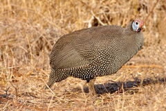 Helmeted Guineafowl. Photographed in South Africa Stock Image